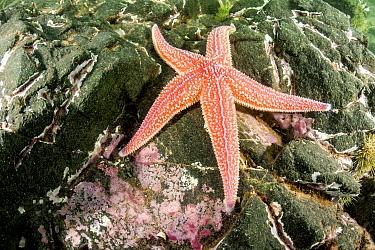 Northern Sea Star (Asterias vulgaris), Passamaquoddy Bay, Maine