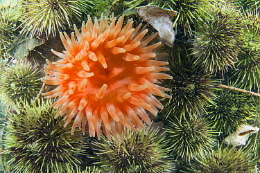 Northern Red Sea Anemone (Tealia felina) among Green Sea Urchins (Strongylocentrotus droebachiensis), Passamaquoddy Bay, Maine