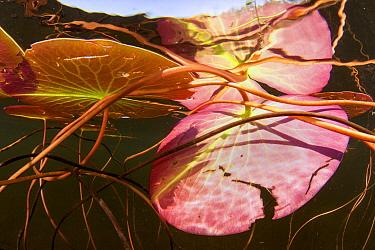Fragrant Water Lily (Nymphaea odorata) pads, Nova Scotia, Canada