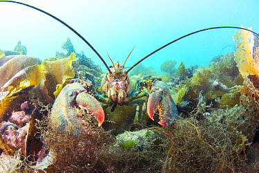 American Lobster (Homarus americanus), Passamaquoddy Bay, Maine