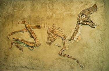 Dinosaur (Lambeosaurus sp) fossil, Royal Tyrrell Museum, Drumheller, Alberta, Canada