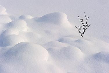 Leafless winter shrub in snow, Banff National Park, Alberta, Canada