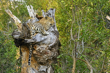 Leopard (Panthera pardus) in tree, Londolozi, Sabi-sands Game Reserve, South Africa