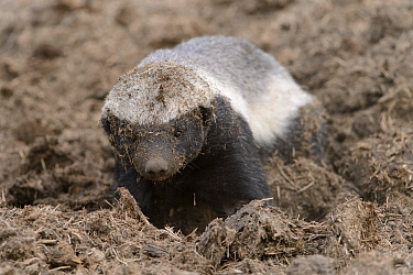 Honey Badger (Mellivora capensis), Londolozi, Sabi-sands Game Reserve, South Africa