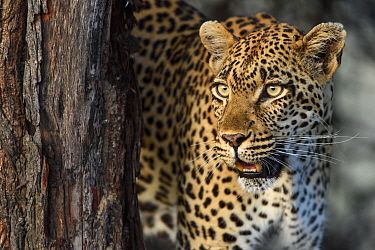 Leopard (Panthera pardus), Londolozi, Sabi-sands Game Reserve, South Africa