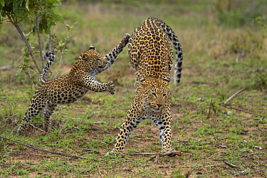 Leopard (Panthera pardus) mother playing with cub, Londolozi, Sabi-sands Game Reserve, South Africa, sequence 3 of 4