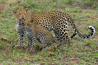 Leopard (Panthera pardus) mother licking cub, Londolozi, Sabi-sands Game Reserve, South Africa