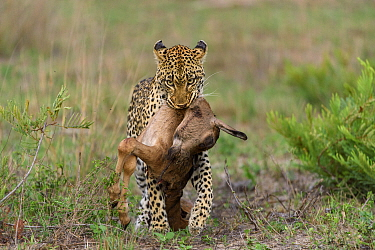 Leopard (Panthera pardus) carrying Bontebok (Damaliscus pygargus) calf prey, Londolozi, Sabi-sands Game Reserve, South Africa