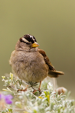White-crowned Sparrow (Zonotrichia leucophrys), Lobos Dunes, Presidio, San Francisco, Bay Area, California
