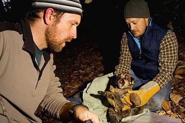 Mountain Lion (Puma concolor) biologist, Max Allen, holding six week old male cub, before biologist Paul Houghtaling places radio collar on him, Santa Cruz Puma Project, Santa Cruz, Monterey Bay, Cali...