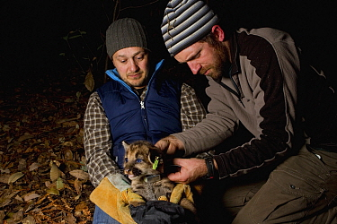 Mountain Lion (Puma concolor) biologists, Max Allen and Paul Houghtaling, placing radio collar on six week old male cub, Santa Cruz Puma Project, Santa Cruz, Monterey Bay, California