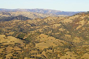Oak (Quercus sp) trees in oak savanna on hillsides, Bay Area, California