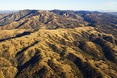 Oak (Quercus sp) trees in oak savanna on hillsides, Mount Hamilton, Bay Area, California