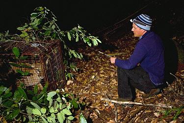Mountain Lion (Puma concolor) biologist, Chris Wilmers, next to sub-adult male in box trap during collaring, Santa Cruz Puma Project, Santa Cruz, Monterey Bay, California