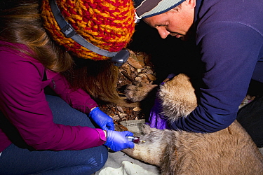 Mountain Lion (Puma concolor) biologists, Justine Alyssa Smith and Chris Wilmers, taking blood from sub-adult male for analysis during collaring, Santa Cruz Puma Project, Santa Cruz, Monterey Bay, Cal...