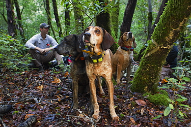 Mountain Lion (Puma concolor) biologist, Sean McCain, with Redtick Coonhound (Canis familiaris) pair and Plott Hound (Canis familiaris) waiting for a puma to climb down from a tree to chase it to a sa...