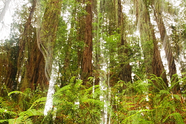 Coast Redwood (Sequoia sempervirens) trees and Sword Ferns (Polystichum munitum) in forest, Muir Woods National Monument, California