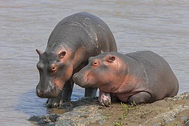 Hippopotamus (Hippopotamus amphibius) calves, Masai Mara, Kenya