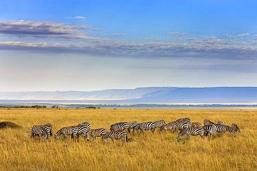 Burchell's Zebra (Equus burchellii) herd grazing in savanna, Masai Mara, Kenya