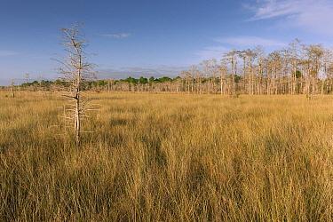 Dwarf Cypress (Taxodium sp) and Pine (Pinus sp) trees in grassland, Everglades National Park, Florida