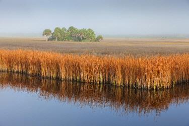Swamp Sawgrass (Cladium mariscus) and Cabbage Palm (Sabal palmetto) island in mist, Big Cypress National Preserve, Florida