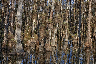 Bald Cypress (Taxodium distichum) trees in swamp with epiphytes, Everglades National Park, Florida