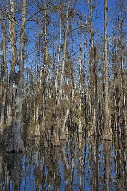 Bald Cypress (Taxodium distichum) trees in swamp with epiphytes and White Ibis (Eudocimus albus), Everglades National Park, Florida