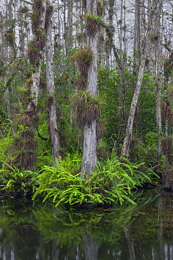 Bald Cypress (Taxodium distichum) trees in swamp with epiphytes and ferns, Everglades National Park, Florida