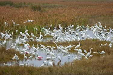 Great Egret (Ardea alba), White Ibis (Eudocimus albus), Snowy Egret (Egretta thula), Great Blue Heron (Ardea herodias), Roseate Spoonbill (Platalea ajaja), and Wood Stork (Mycteria americana) flock fo...