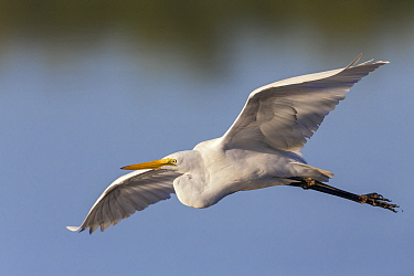 Great Egret (Ardea alba) flying, Sanibel Island, Florida