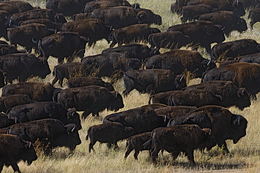American Bison (Bison bison) herd, South Dakota