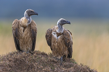 White-backed Vulture (Gyps africanus) pair on termite mound, Masai Mara, Kenya