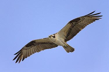 Osprey (Pandion haliaetus) flying, Sanibel Island, Florida