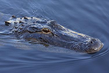 American Alligator (Alligator mississippiensis), Everglades National Park, Florida