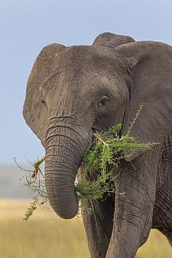 African Elephant (Loxodonta africana) feeding on acacia sapling, Masai Mara, Kenya