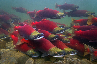Sockeye Salmon (Oncorhynchus nerka) group swimming upstream during spawning run, Adams River, Roderick Haig-Brown Provincial Park, British Columbia, Canada