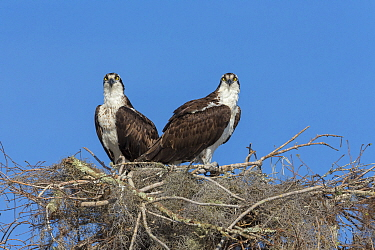 Osprey (Pandion haliaetus) pair at nest, Blue Cypress Lake, Florida