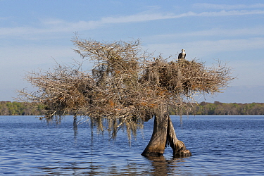 Osprey (Pandion haliaetus) on nest in lake, Blue Cypress Lake, Florida