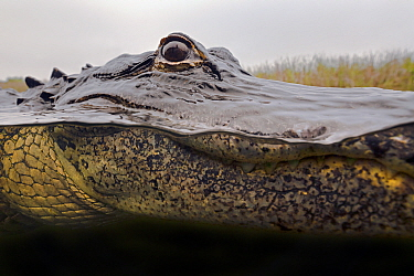 American Alligator (Alligator mississippiensis) in water, Everglades National Park, Florida