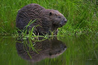 European Beaver (Castor fiber), Germany