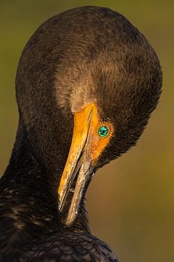 Double-crested Cormorant (Phalacrocorax auritus) preening, Everglades National Park, Florida