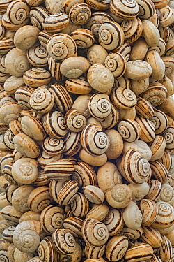 White Gardensnail (Theba pisana) mass clustered on vegetation during dry season to avoid warm temperatures at ground level, Camargue, France