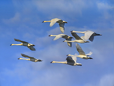 Trumpeter Swan (Cygnus buccinator) flock flying, Arkansas