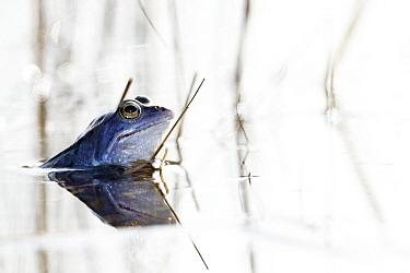 Moor Frog (Rana arvalis) male, Netherlands