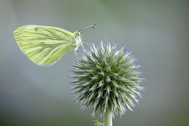 Green-veined White (Pieris napi) butterfly, Netherlands