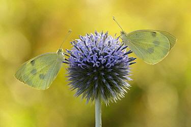 Cabbage Butterfly (Pieris brassicae) pair, Netherlands