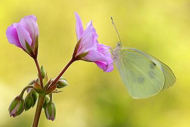 Cabbage Butterfly (Pieris brassicae), Netherlands