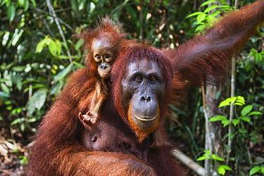 Orangutan (Pongo pygmaeus) mother and young, Tanjung Puting National Park, Central Kalimantan, Borneo, Indonesia
