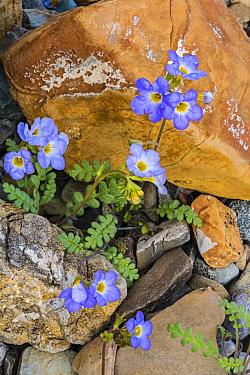 Fremont's Phacelia (Phacelia fremontii) flowers, Death Valley National Park, California