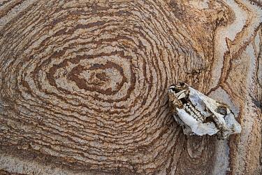 Collared Peccary (Tayassu tajacu) skull and patterned rock, Big Bend National Park, Texas